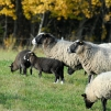 Romanov sheep in their pasture