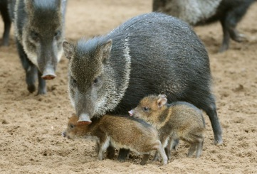 Peccary pigs in Riga Zoo