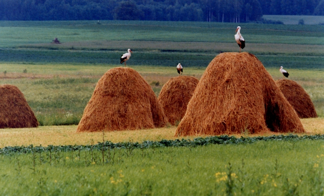 Storks on haystacks