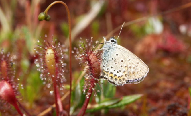Sundew and a butterfly