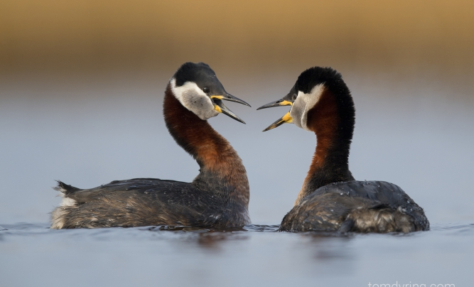 Tom Dyring - Rednecked grebe