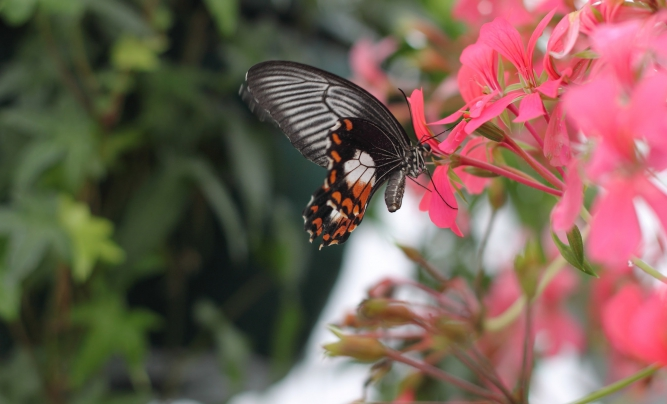Butterflies at Tropical House