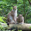 Lynx in the Ligatne Nature Trails